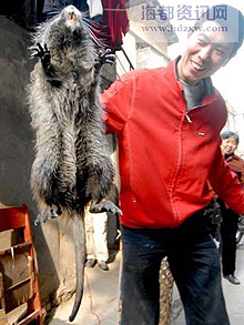 Giant Bamboo Rat