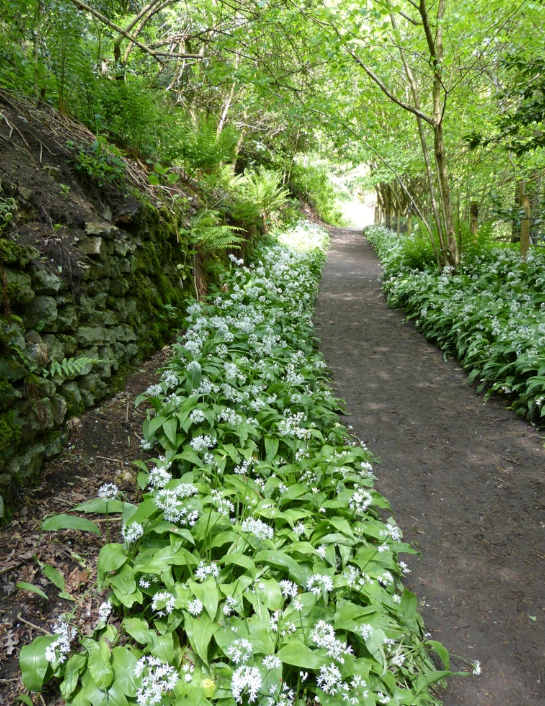 Wild garlic-lined walkway