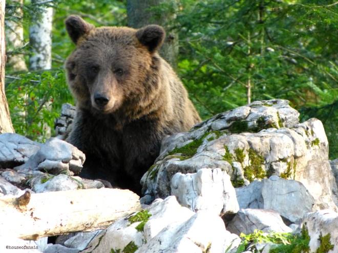 Bear Slovenia1