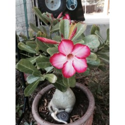 Small Crop Of Desert Rose Care