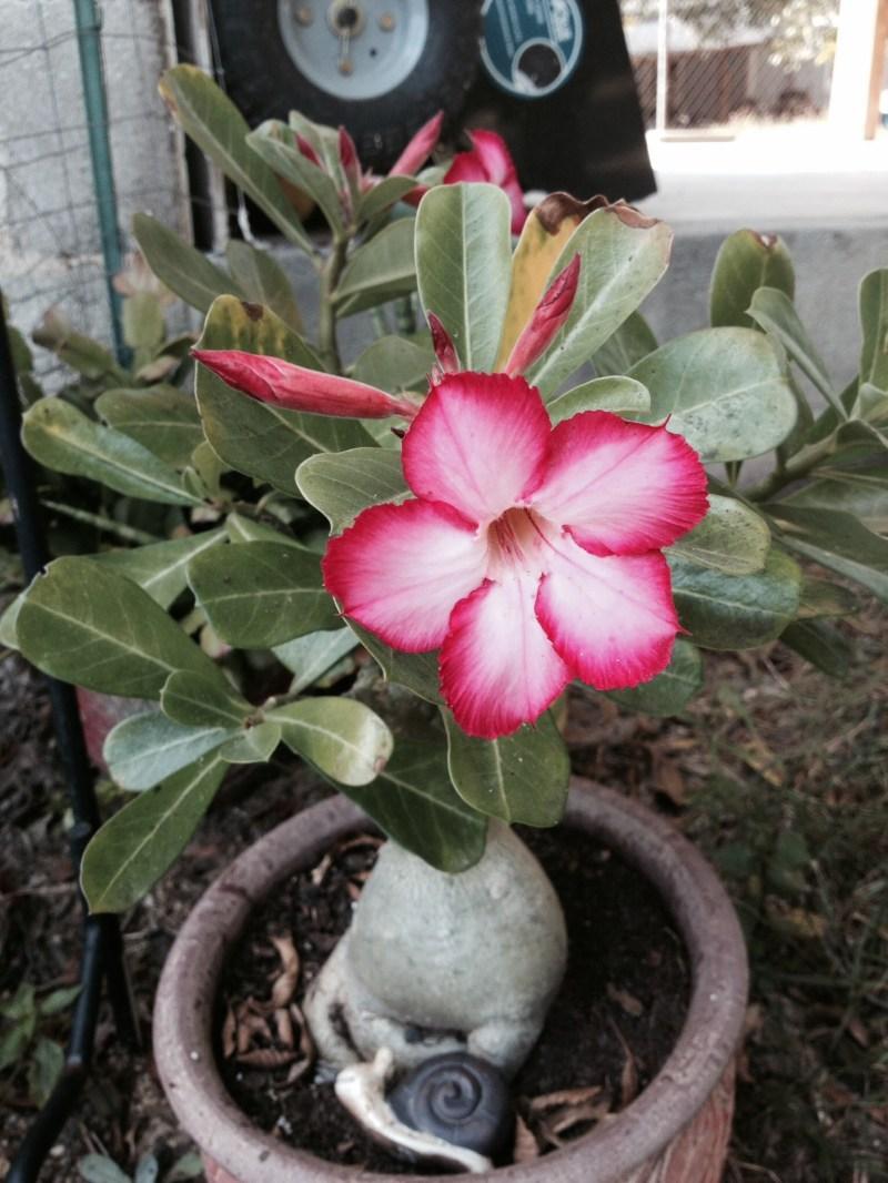 Large Of Desert Rose Care