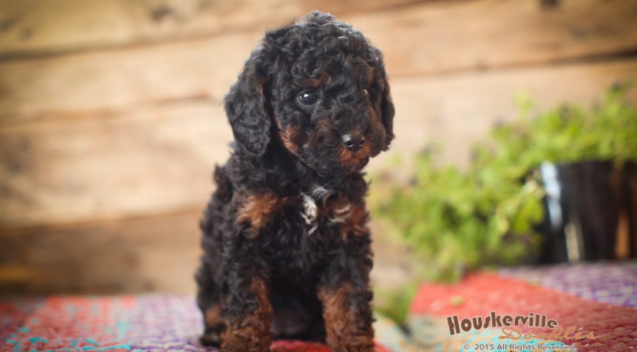 Purebred Poodles out of Minnie & Rusty