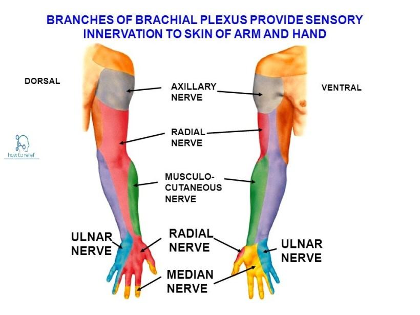 ulnar nerve motor innervation | kakamozza.org