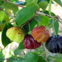 ¿Cuándo está madura la fruta de la pitanga? (eugenia uniflora)