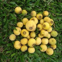 Sete capotes, sietecapotes (campomanesia guazumifolia), video