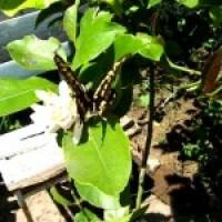 Mariposa negra y amarilla en el limonero