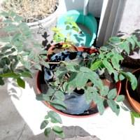 Jabuticabas: consejos para su cultivo