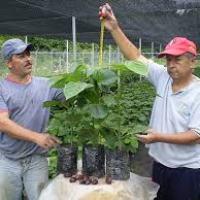 chachafruto, balu o sachaporoto (Erythrina edulis)