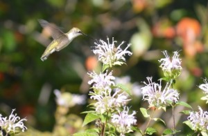 Image of hummingbird on wild bergamot