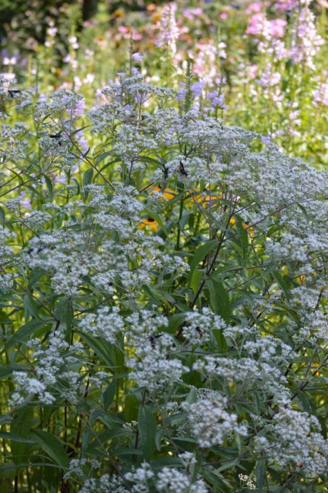 Boneset and scolia dubia