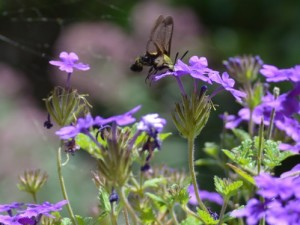 Image of clearwing moth on verbena