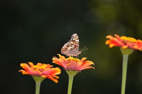 The resulting adults, American lady butterflies, were only too happy to sink dine on the nectar of the butterfly gods: orange zinnias.