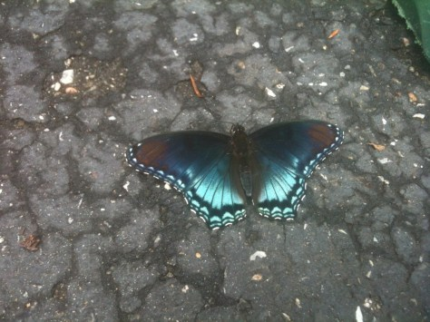 A red-spotted purple dines on rain-soaked cracks in the driveway. Its caterpillars dine on cherries, poplars, oaks, hawthorns and other trees and bushes.