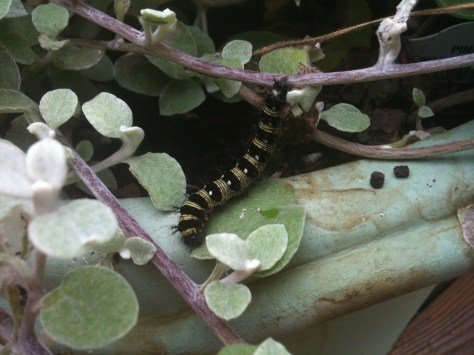 Even a humane backyard in a pot can sustain caterpillars and other wildlife. At least six American lady caterpillars were munching on this licorice plant on my deck, so I potted up several more host plants they can digest and placed them next to it.