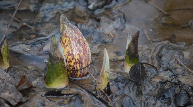 The Magic of Skunk Cabbage: A Plant for the Ages