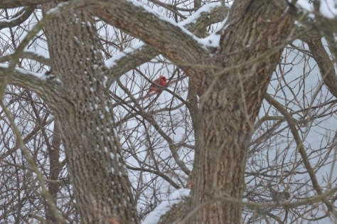 Image of cardinal in tree in snowstorm