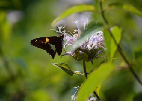 wild bergamot and silver spotted skipper