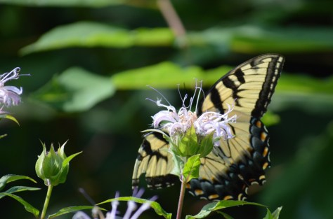 Image of eastern tiger swallowtail on wild bergamot