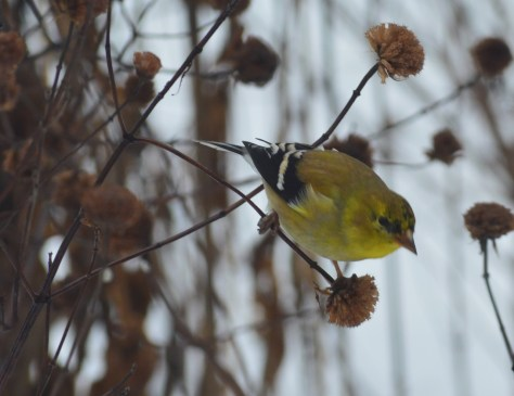 Goldfinch on wild bergamot