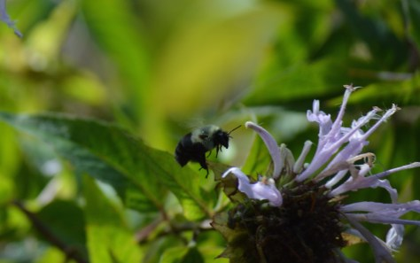 Image of bee flying toward wild bergamot