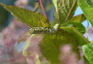 Image of monarch caterpillar