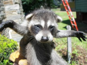 Image of a raccoon rescued by Humane Wildlife Services