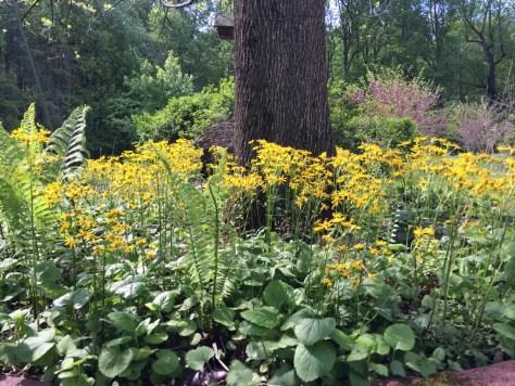 image of golden ragwort
