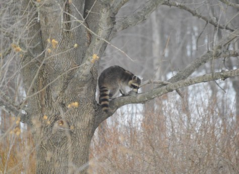 Image of raccoon in tree