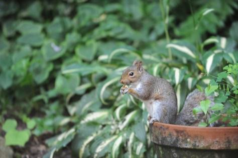 Image of squirrel in flowerpot