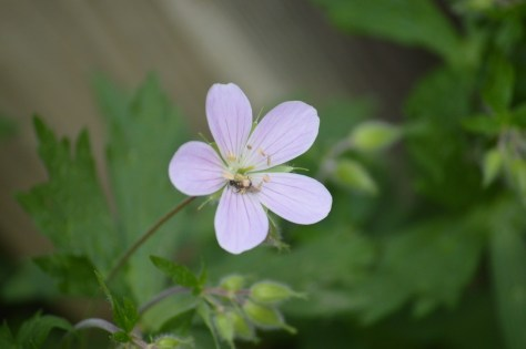 Image of geranium maculatum and polinator