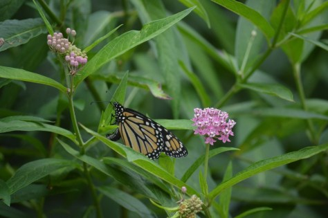 image of monarch on swamp milkweed
