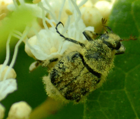 Image of trichiotinus piger (hairy flower chafer or bee-like flower scarab beetle)