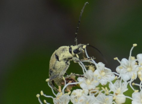 image of notch-tipped longhorn beetle on viburnum