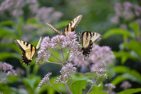 Image of Eastern tiger swallowtails on Joe Pye weed