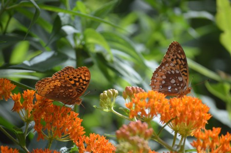 Image of fritillaries on butterflyweed