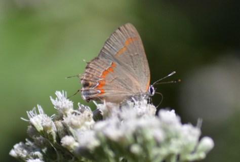 redbanded hairstreak butterfly