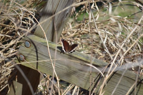 Image of mourning cloak on swing