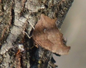 Image of Eastern comma on elm