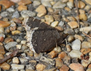 Image of mourning cloak in wind