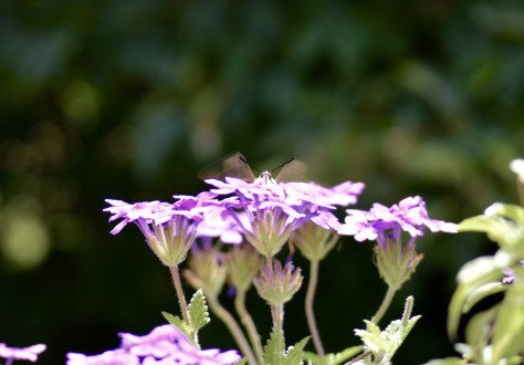 Image of hummingbird moth on verbena