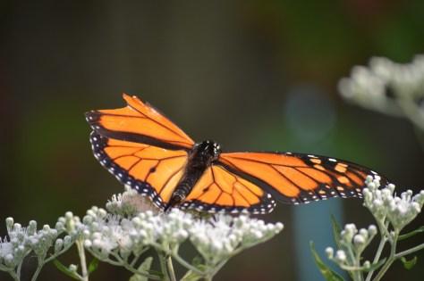 Image of monarch on boneset