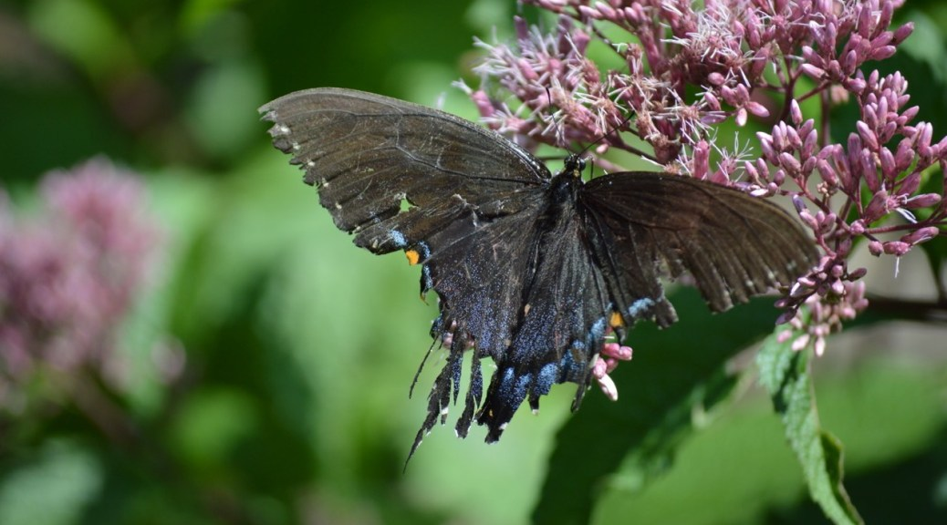 Image of female eastern tiger swallowtail on joe pye weed