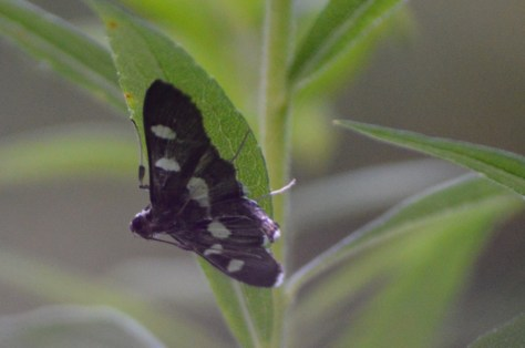 Image of grape leaf folder moth