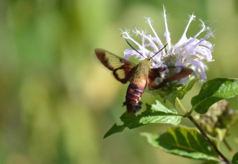 Image of hummingbird moth