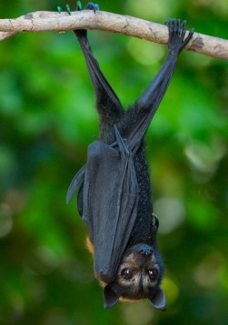 Image of spectacled flying fox
