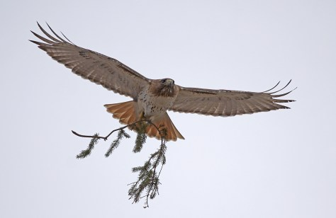 Image of redtailed hawk at Mount Auburn Cemetery
