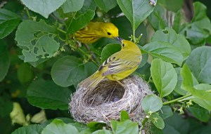 Image of yellow warblers