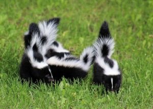 Image of baby skunks