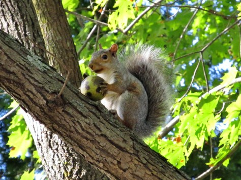 Image of squirrel with walnut