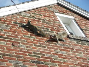 Image of squirrels scaling a wall to get the attic